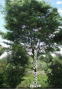 Исая сравнява Давидовата династия с дърво